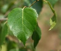 Берёза повислая (лист)
