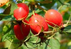 Шиповник (плод)